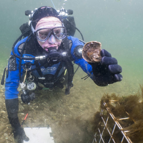 DEEP- Dr Bill Sanderson retrieving an oyster from the Dornoch Firth for the Glenmorangie DEEP project (1)